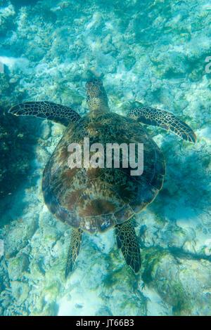 Hawksbill sea turtle (Eretmochelys imbricata), Gangehi Island, Ari Atoll, Indian Ocean, Maldives - Stock Photo