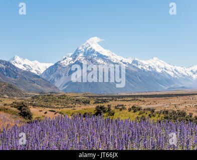 Flowering Purple Flowers, Mount Cook, Snowy Mountains, Mount Cook National Park Southern Alps, Canterbury, South - Stock Photo