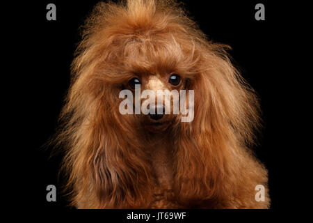 Red Toy Poodle Dog on Isolated Black Background - Stock Photo