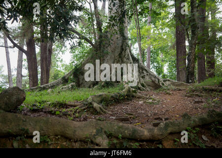 big old tree in the tropical rainforest - Stock Photo