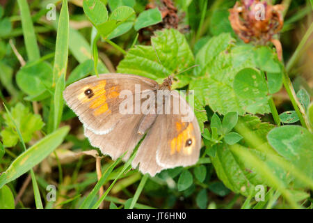 A small heath (coenonympha pamphilus) butterfly at rest. This photo was taken on the Taw and torridge river estuary, - Stock Photo