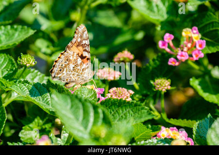 A Painted Lady butterfly, Vanessa cardui, feeding on Lantana camara in Oklahoma, USA. - Stock Photo