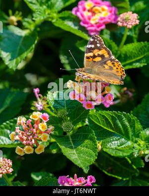A Painted Lady butterfly Vanessa cardui, feeding on Lantana camara in Oklahoma, USA. - Stock Photo