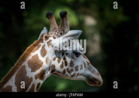 The Rothschilds giraffe (Giraffa camelopardalis rothschildi) wildlife animal - Stock Photo