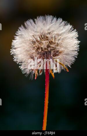 Taraxacum officinale, dandelion clock - Stock Photo