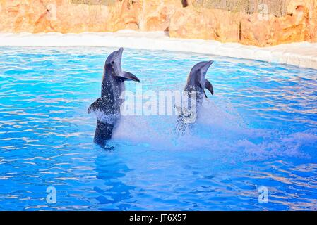 Two grey dolphins making tricks in the water - Stock Photo