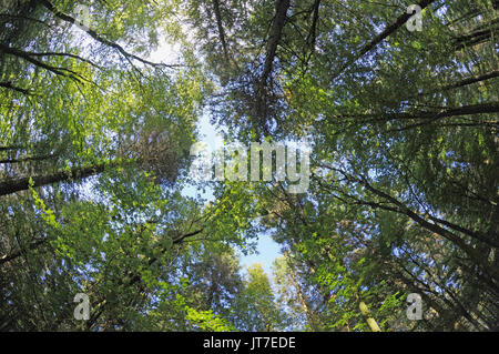 looking up through the canopy of a forest of trees at a summer sky - Stock Photo
