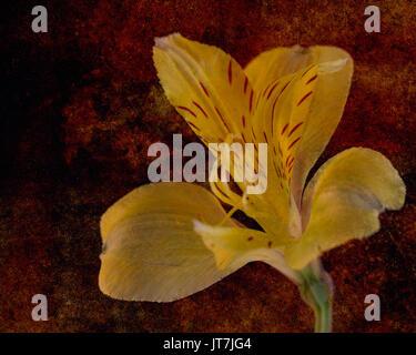 Yellow Amaryllis on crimson background - Stock Photo