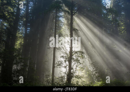 Sunbeams through the redwoods - Stock Photo