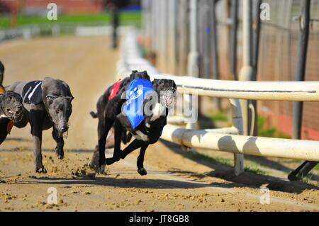 Greyhound Racing - Stock Photo