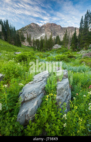Wildflowers, Devil's Castle, Albion Basin, Alta, Utah - Stock Photo