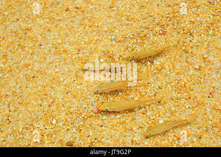 small freshwater fish in the river - Stock Photo