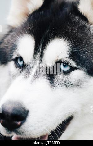 Portrait of beautiful Siberian Husky dog. Close up. - Stock Photo