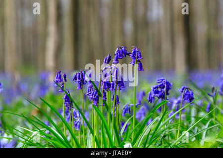 Close up of purple bluebells in bloom in the green grass of the Hallerbos forest, Halle, Belgium, Europe - Stock Photo