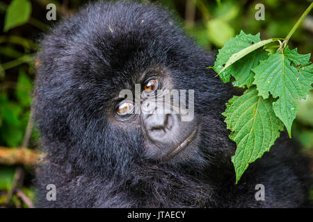Young mountain gorilla (Gorilla beringei beringei) in the Virunga National Park, UNESCO, Democratic Republic of - Stock Photo