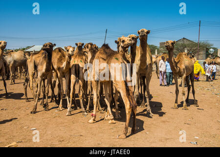 Camels at the Camel market, Hargeisa, Somaliland, Somalia, Africa - Stock Photo
