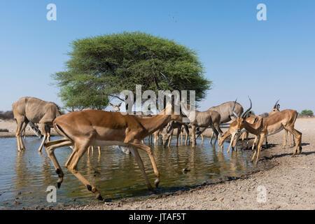 Remote camera image of greater kudus (Tragelaphus strepsiceros) and impalas (Aepyceros melampus) at waterhole, Botswana, - Stock Photo