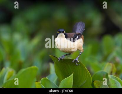 Black-capped donacobius (Donacobius atricapilla) Pantanal, Brazil - Stock Photo