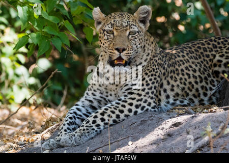 A leopard (Panthera pardus) resting in the shade, Botswana, Africa - Stock Photo