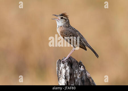 Rufous-naped lark (Mirafra africana), Savuti, Chobe National Park, Botswana, Africa - Stock Photo