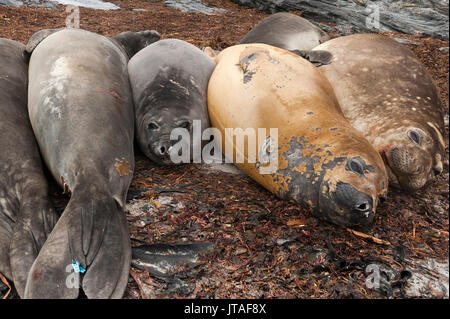Southern elephant seals (Mirounga leonina) resting on a beach, Falkland Islands - Stock Photo