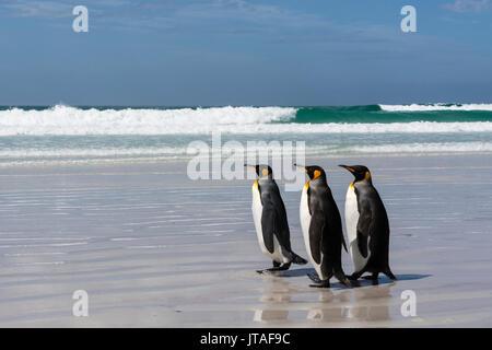 Three king penguins (Aptenodytes patagonica) walking on Volunteer Point beach, Falkland Islands - Stock Photo