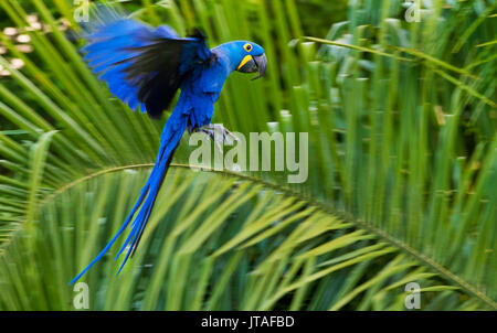 Hyacinth Macaw (Anodorhynchus hyacinthinus) in flight, Pantanal, Brazil. Vulnerable species. - Stock Photo