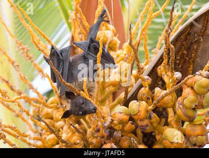 Fruit bat in palm tree, Dhuni Kolhu, Baa Atoll, Republic of Maldives, Indian Ocean, Asia - Stock Photo