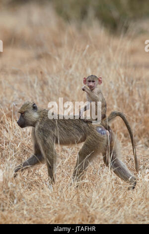 Young yellow baboon (Papio cynocephalus) riding on its mother, Ruaha National Park, Tanzania, East Africa, Africa - Stock Photo