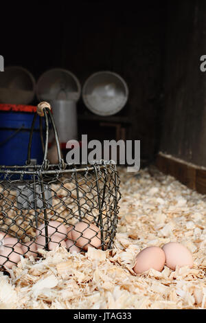 Vintage wire basket with freshly gathered eggs sitting inside a chicken coop. Extreme shallow depth of field. - Stock Photo
