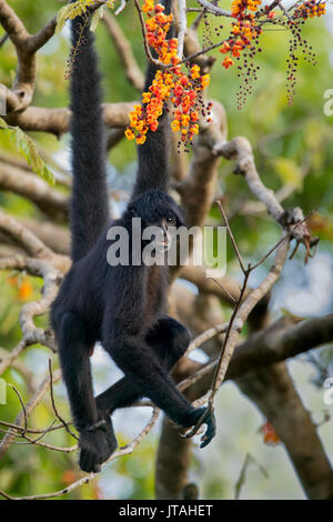 Black-headed Spider Monkey (Ateles fusciceps) SoberanÃa National Park, Panama, Central America. Critically endangered - Stock Photo