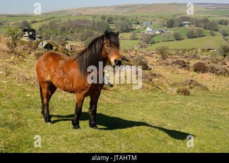 Dartmoor pony. - Stock Photo