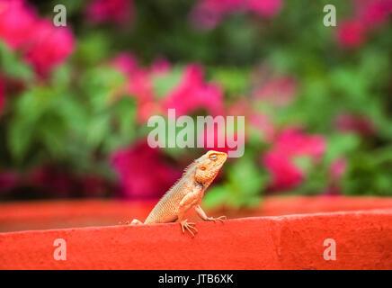 Indian Garden Lizard, Oriental Garden Lizard, Eastern Garden Lizard or Changeable Lizard , (Calotes versicolor), - Stock Photo