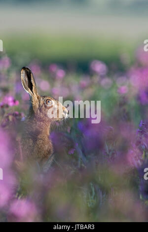 Brown Hare Lepus Europaeus among Red Campion in meadow North Norfolk spring - Stock Photo