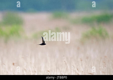 Common Swift Apus apus hunting insects in the rain over reedbed Titchwell RSPB Reserve Norfolk summer - Stock Photo