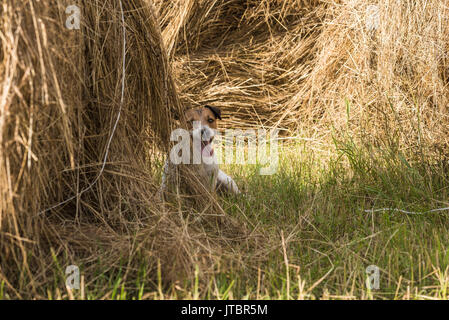 Dog hiding inside haystack playing hide and seek game - Stock Photo