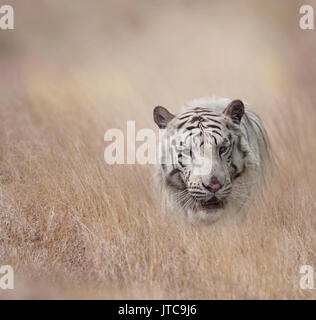 White Tiger walking in the grassland - Stock Photo
