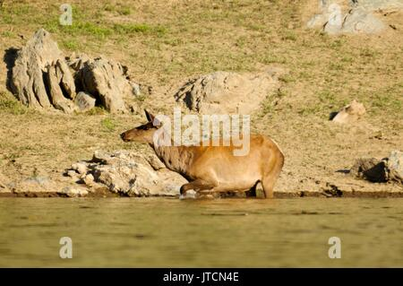 The deer at the watering place - Stock Photo