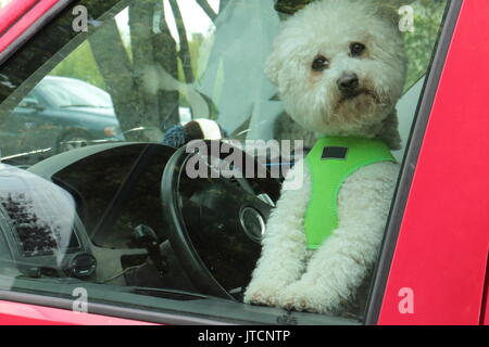 Little white dog alone in the car. Happy dog sits in driver's seat and waiting for the owner. Hey, I saw You! - Stock Photo