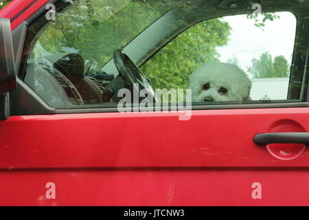 Little white dog alone in the car. Sad dog sits in driver's seat and waiting for the owner. - Stock Photo