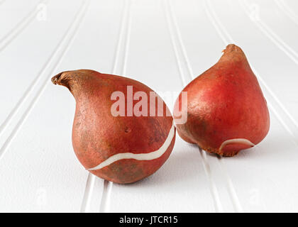 Tulip bulbs on a white wooden background. - Stock Photo