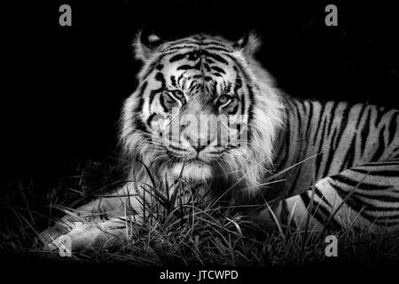 Male Sumatran Tiger, Jae Jae, against a black background - Stock Photo