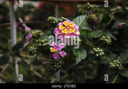 Vouliagmeni Attica Greece Lantana camara 'Landmark Rose Glow Improved' - Stock Photo