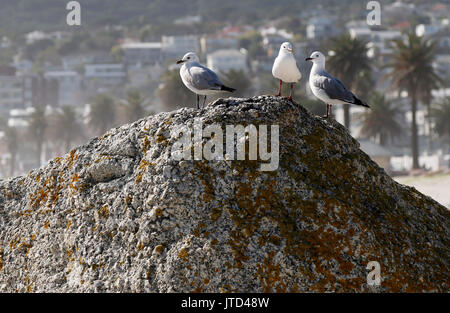 Three seagulls sit on a rock at the Camps Bay beach in Cape Town, Western Cape, South Africa. - Stock Photo