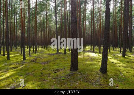 Kihnu Island Pine Forest. Estonia. 5th August 2017 - Stock Photo