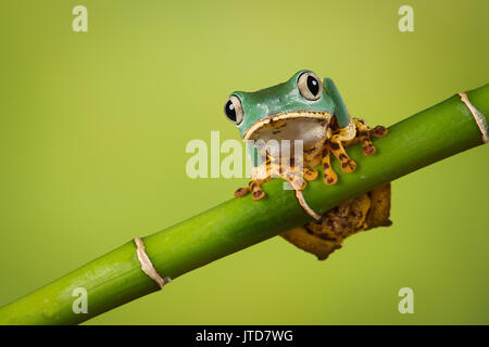 Super Tiger Leg Monkey Frog balancing on a bamboo shoot also known as the waxy tree frog - Stock Photo
