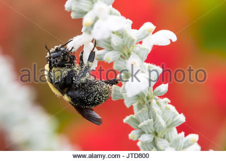 Pollinating bee insect in a white and red flowers garden in the city - Stock Photo