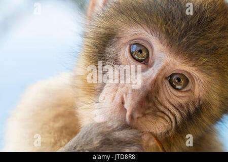 Portrait of a eight month old Barbary macaque, chewing on a leaf in Gibraltar. - Stock Photo