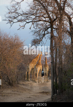 Traffic Jam in the South African Bush! - Stock Photo