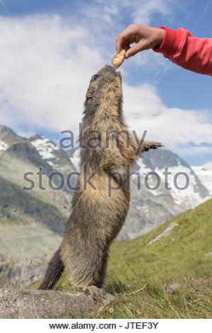 Man with an alpine marmot in front of Großglockner, High Tauern National Park, Carinthia, Austria - Stock Photo